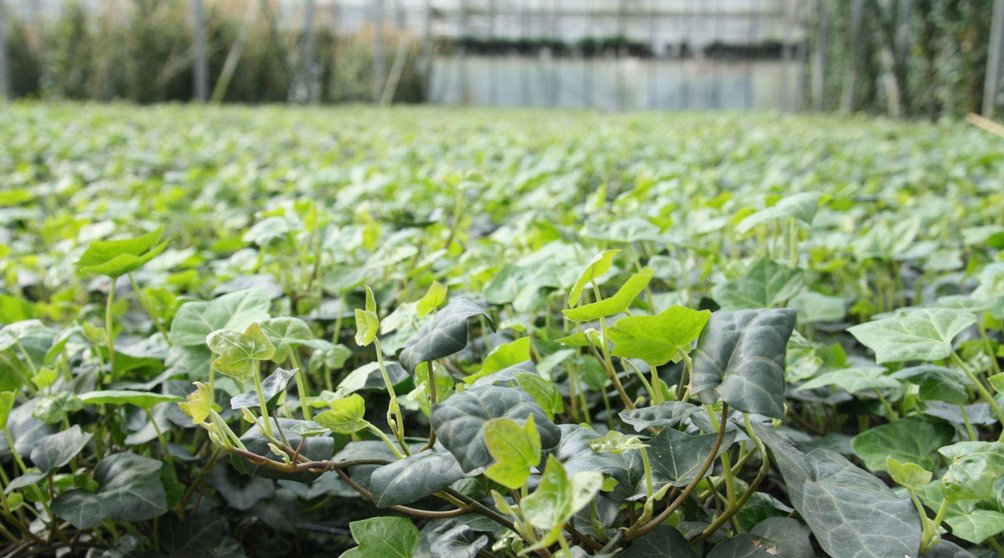 Hedge to go u een kant en klaar groene afscheiding